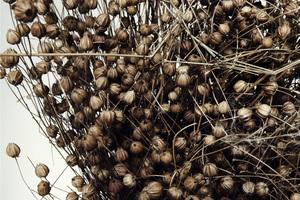Abb. 7: Nachwachsender Rohstoff: Getrocknete Flachspflanzen