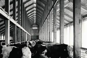 Ausgezeichnete Architektur macht sichtbar glücklich: Kühe und prämierter Stall in Thankirchen<br />
